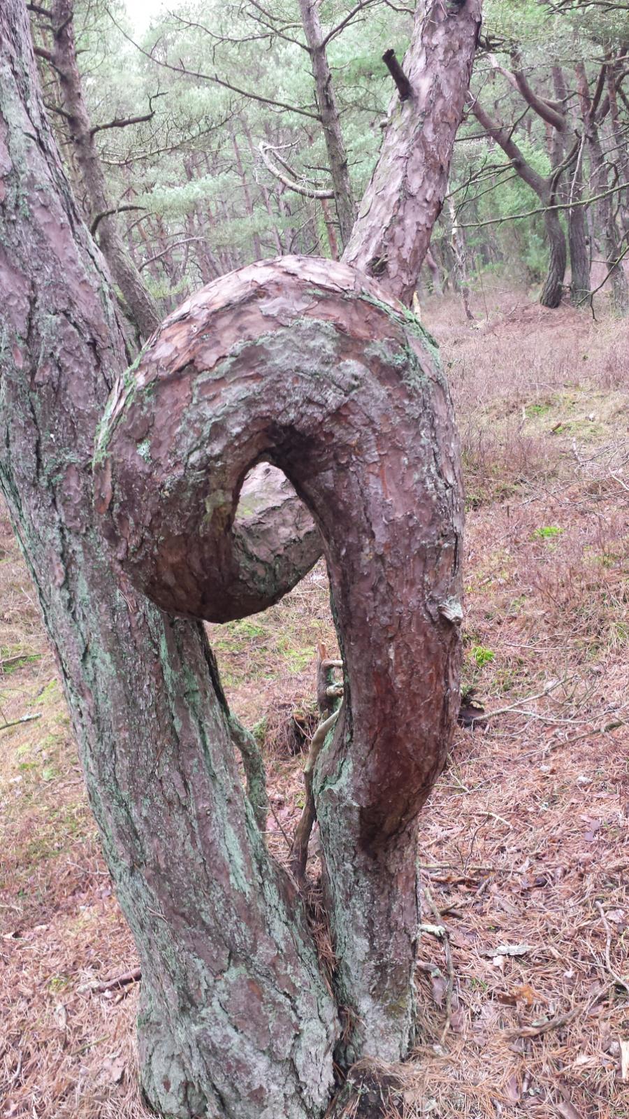 Foto: Iben Østerbye. Troldeskoven, Husby Plantage